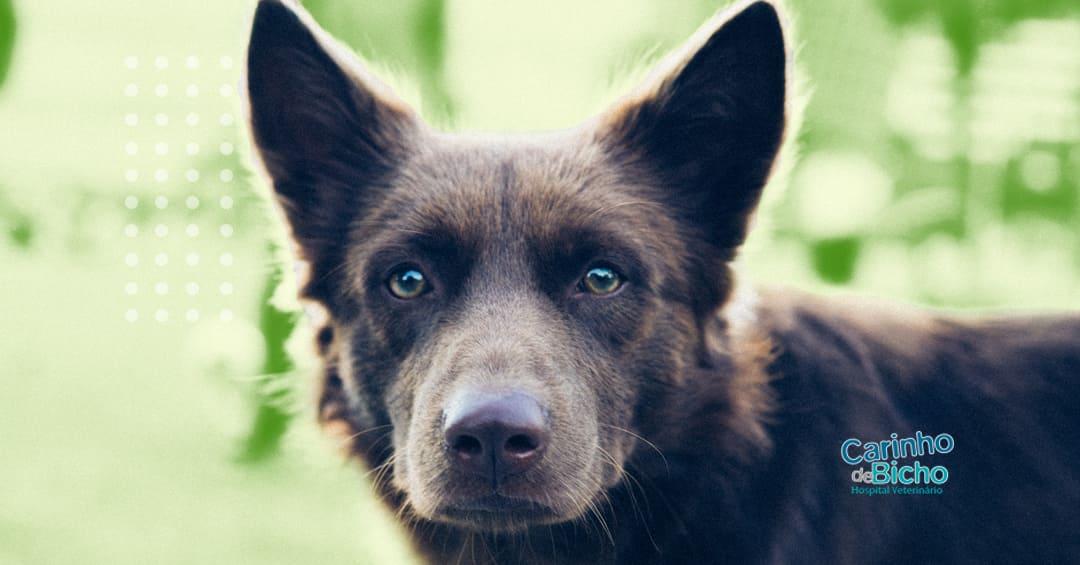 Vacina contra Leishmaniose para cães: entenda porquê vacinar